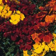 Wallflower Bedding Mix - 10g - Bulk Discounts available